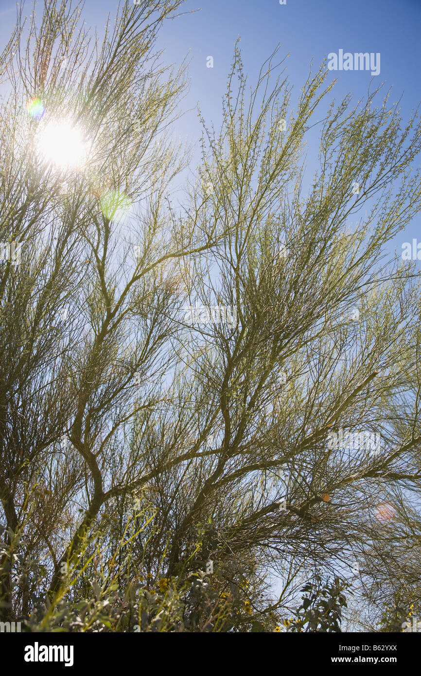 Low angle view of sunlight shinning through branches of a desert plant - Stock Image