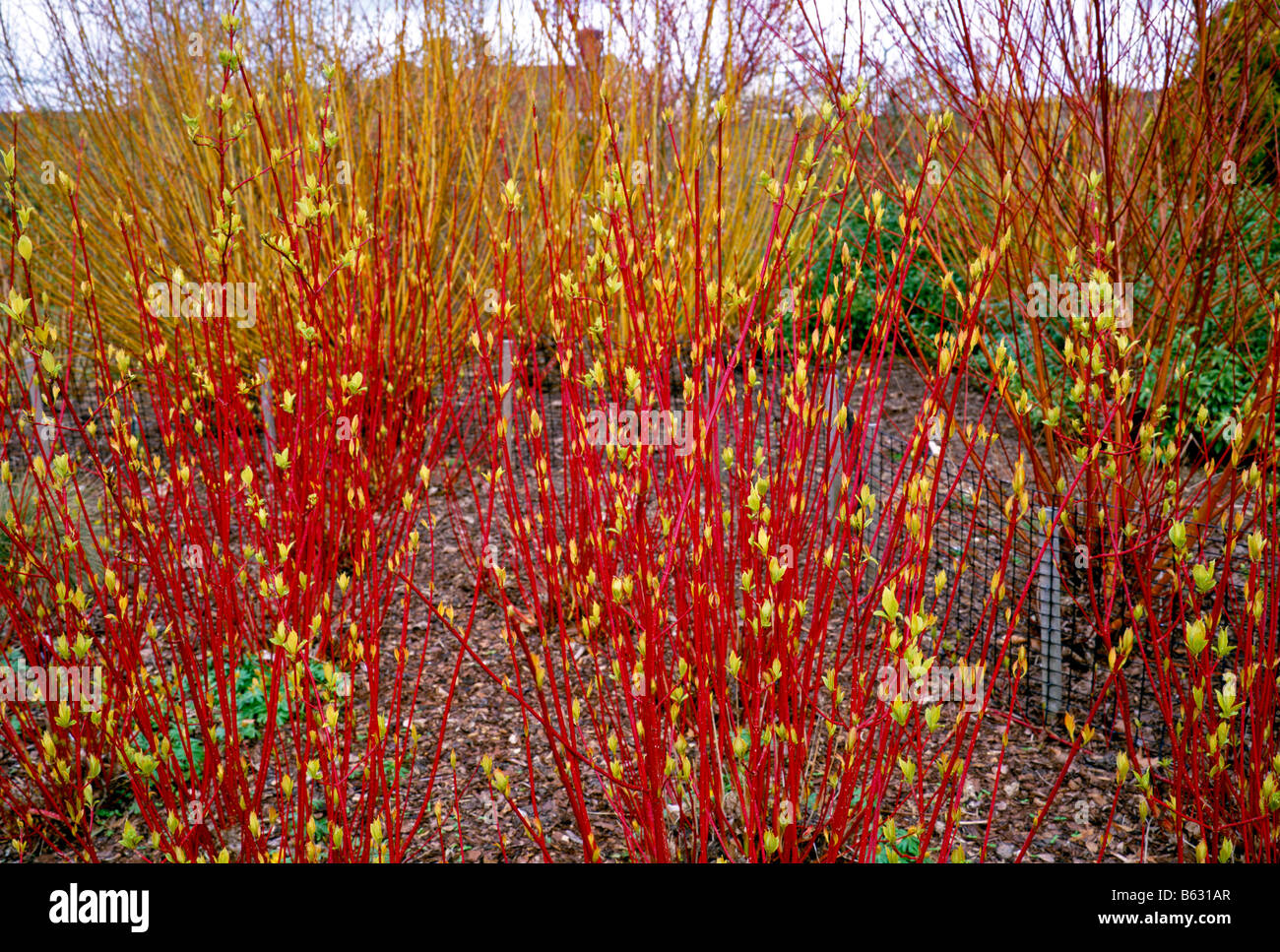 Cornus alba Sibirica in winter - Stock Image