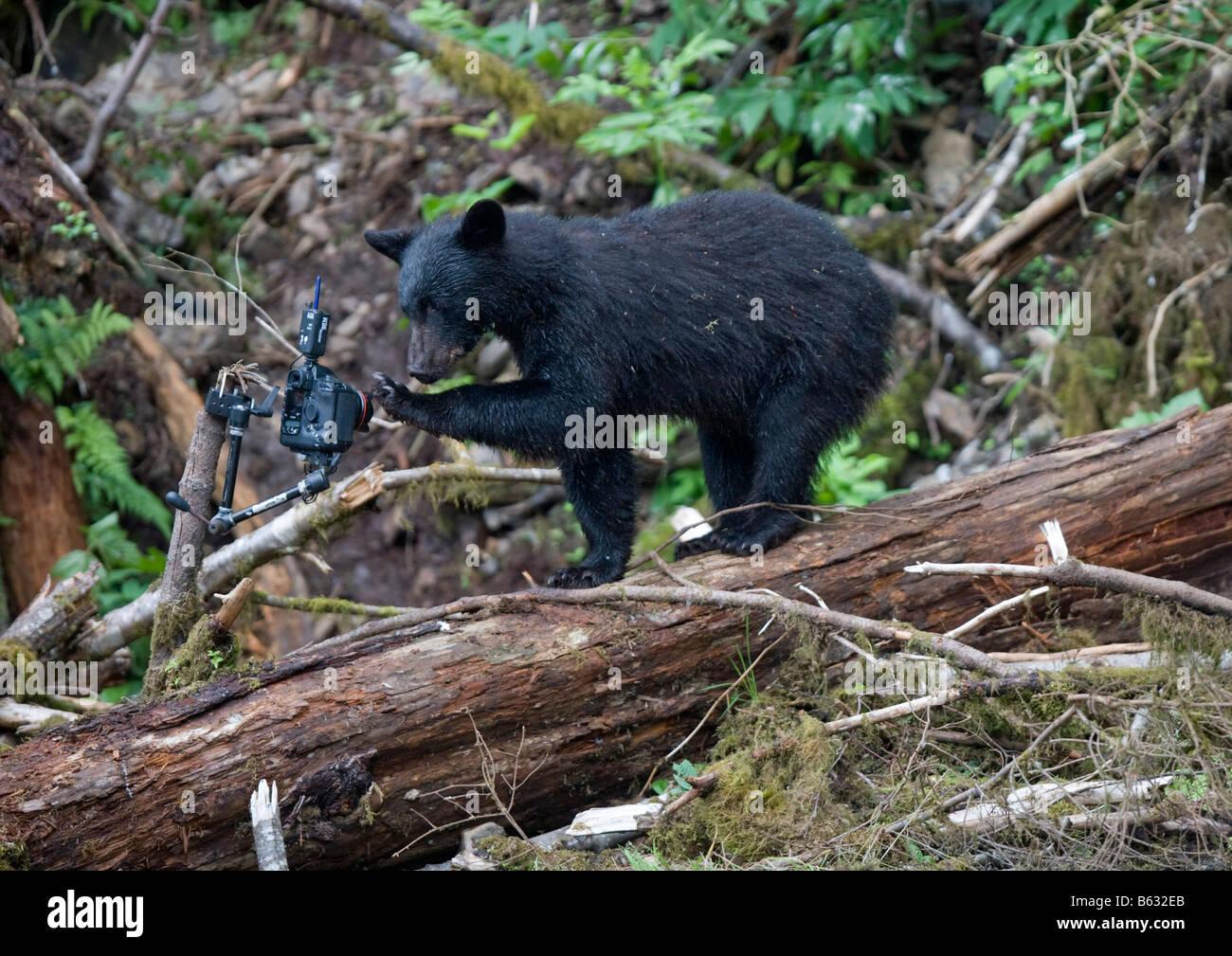 USA Alaska Kake Black Bear Ursus americanus inspects remote control camera mounted in rainforest along Gunnuk Creek - Stock Image