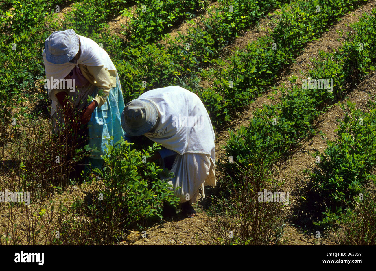 Harvesting coca leaves for traditional use Los Yungas Bolivia - Stock Image