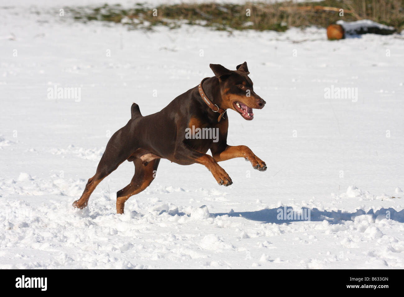 Brown, Chocolate Doberman running and playing in the snow. - Stock Image