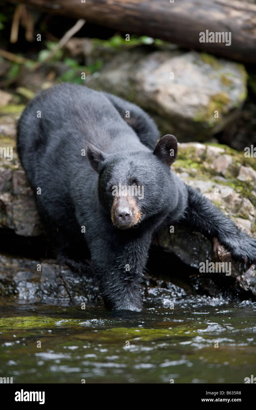 USA Alaska Kake Black Bear Ursus americanus wades into deep water while fishing for spawning Chum Salmon in Gunnuk - Stock Image