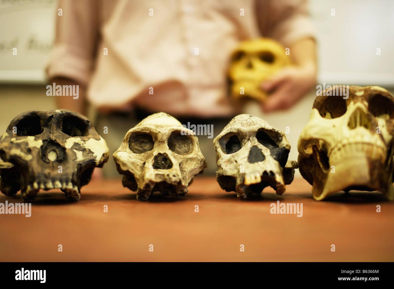 Man teaching human evolution with model skulls of human ancestors - Stock Image