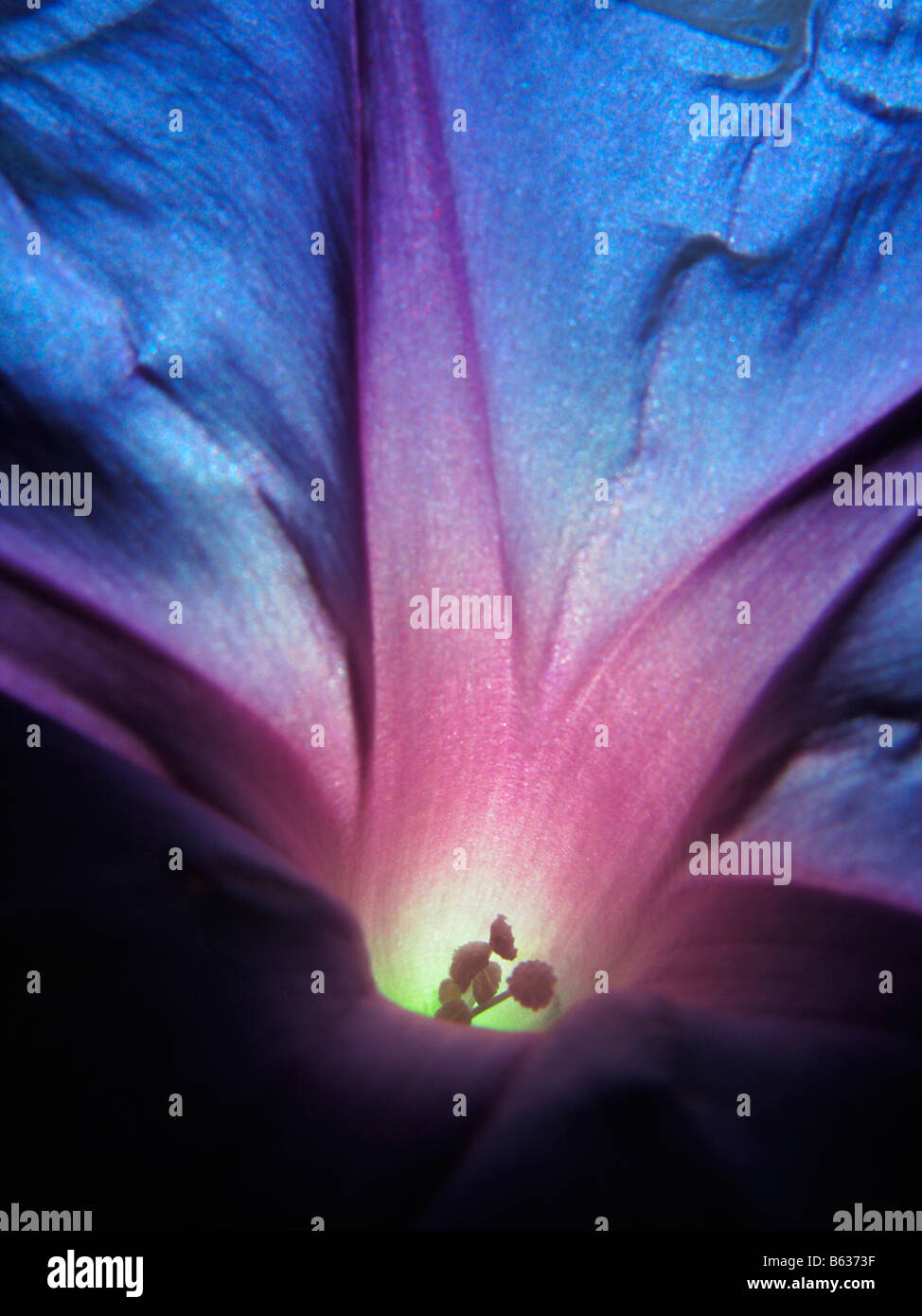 Close up of a blue and purple morning glory flower as sun light shines through it. Stock Photo
