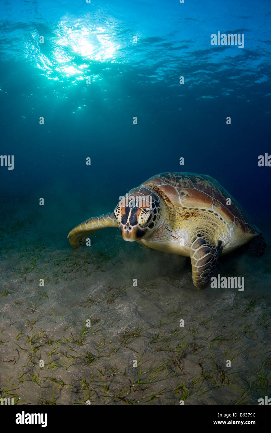 Green sea turtle, chelonia mydas, feeding on the sea grass. - Stock Image