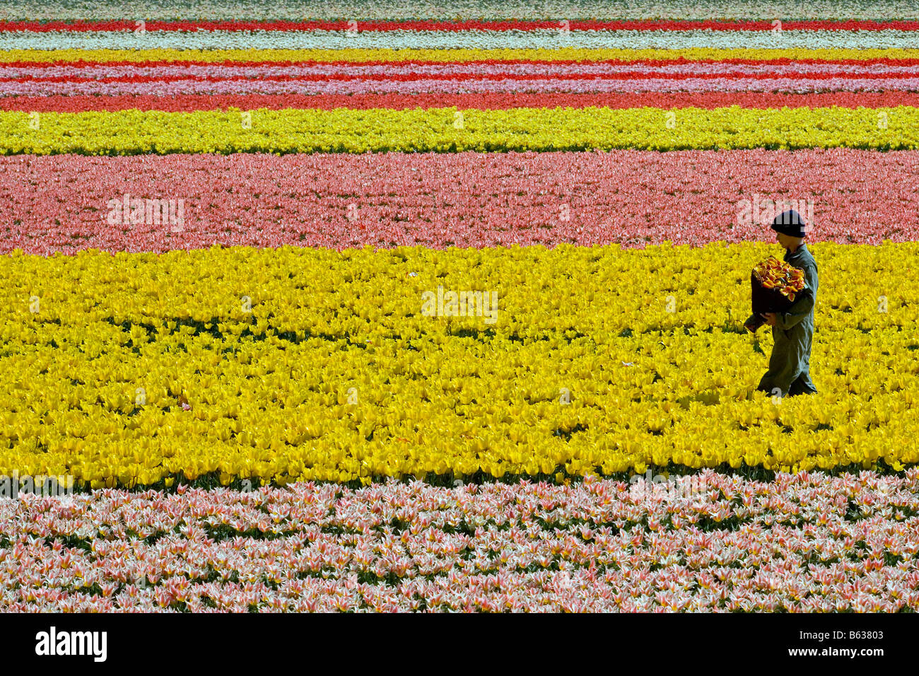 Netherlands Zuid Holland Lisse Worker working in the tulip field - Stock Image