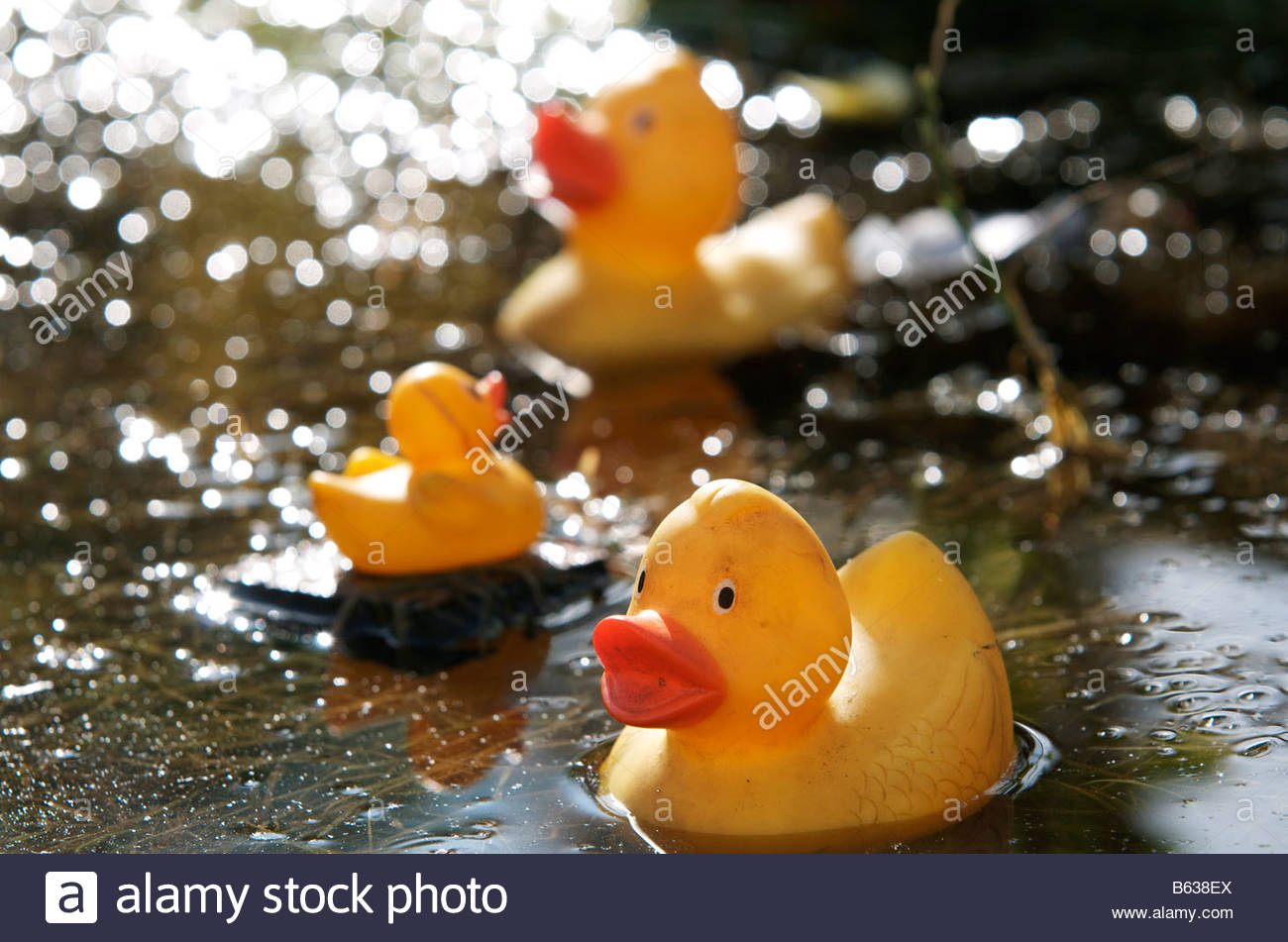 Yellow rubber ducks floating in a pool of rain water after heavy ...