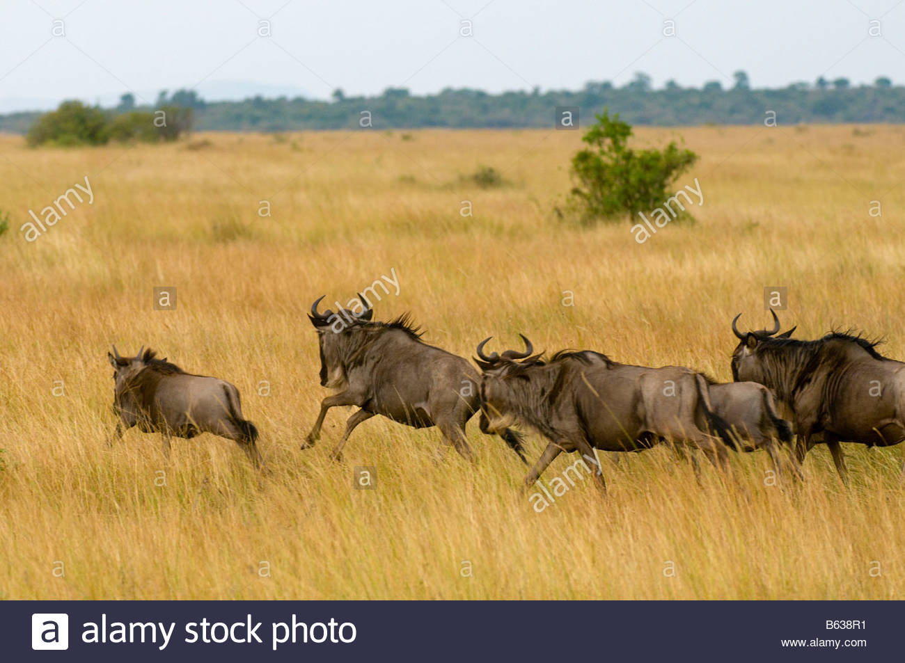 Blue Wildebeest gnu on the run during the Great Migration Masai Mara National Reserve Kenya - Stock Image