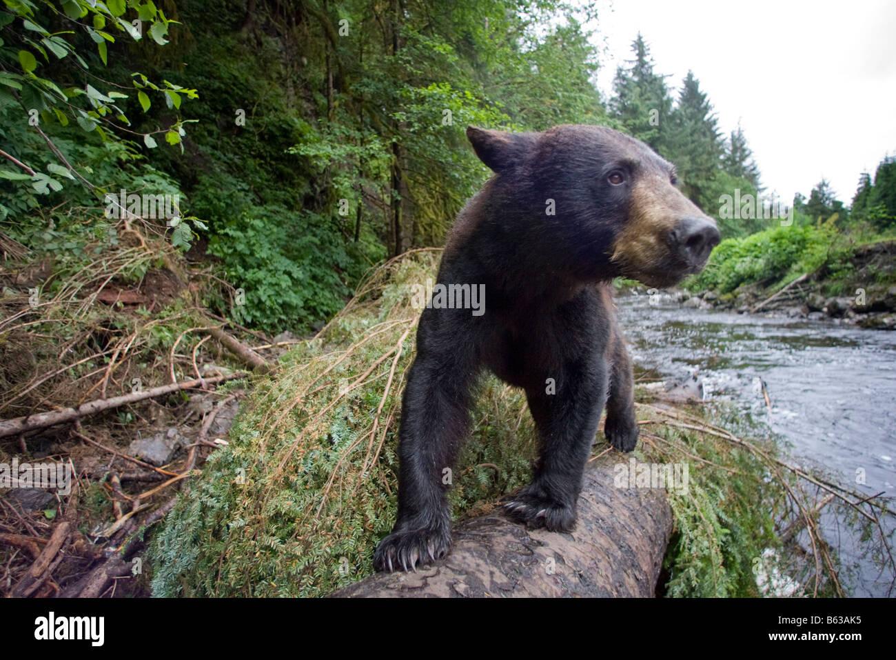 USA Alaska Kake Remote camera view of Black Bear Ursus americanus walking on fallen tree trunk while fishing for - Stock Image