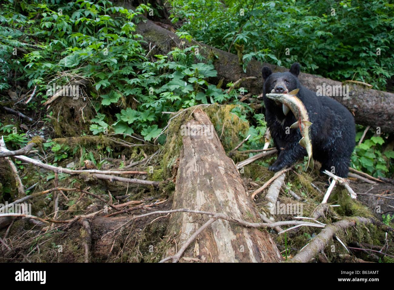 USA Alaska Kake Remote camera view of Black Bear Ursus americanus walking carrying Chum Salmon Oncorhynchus keta - Stock Image