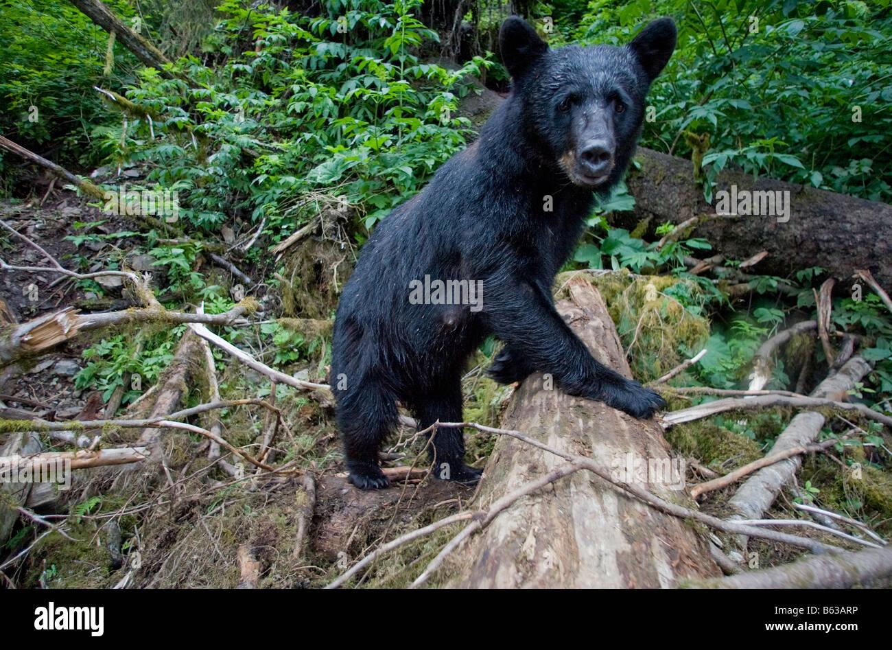USA Alaska Kake Remote camera view of Black Bear Ursus americanus walking through rainforest near Gunnuk Creek - Stock Image