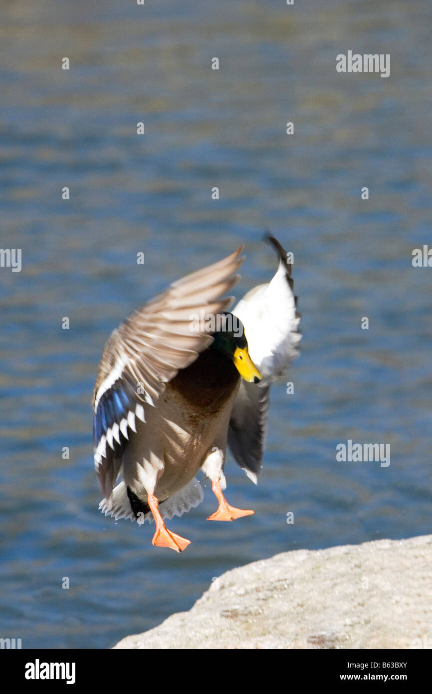 Close-up of a Mallard duck flying, Central Park, Manhattan, New York City, New York State, USA - Stock Image