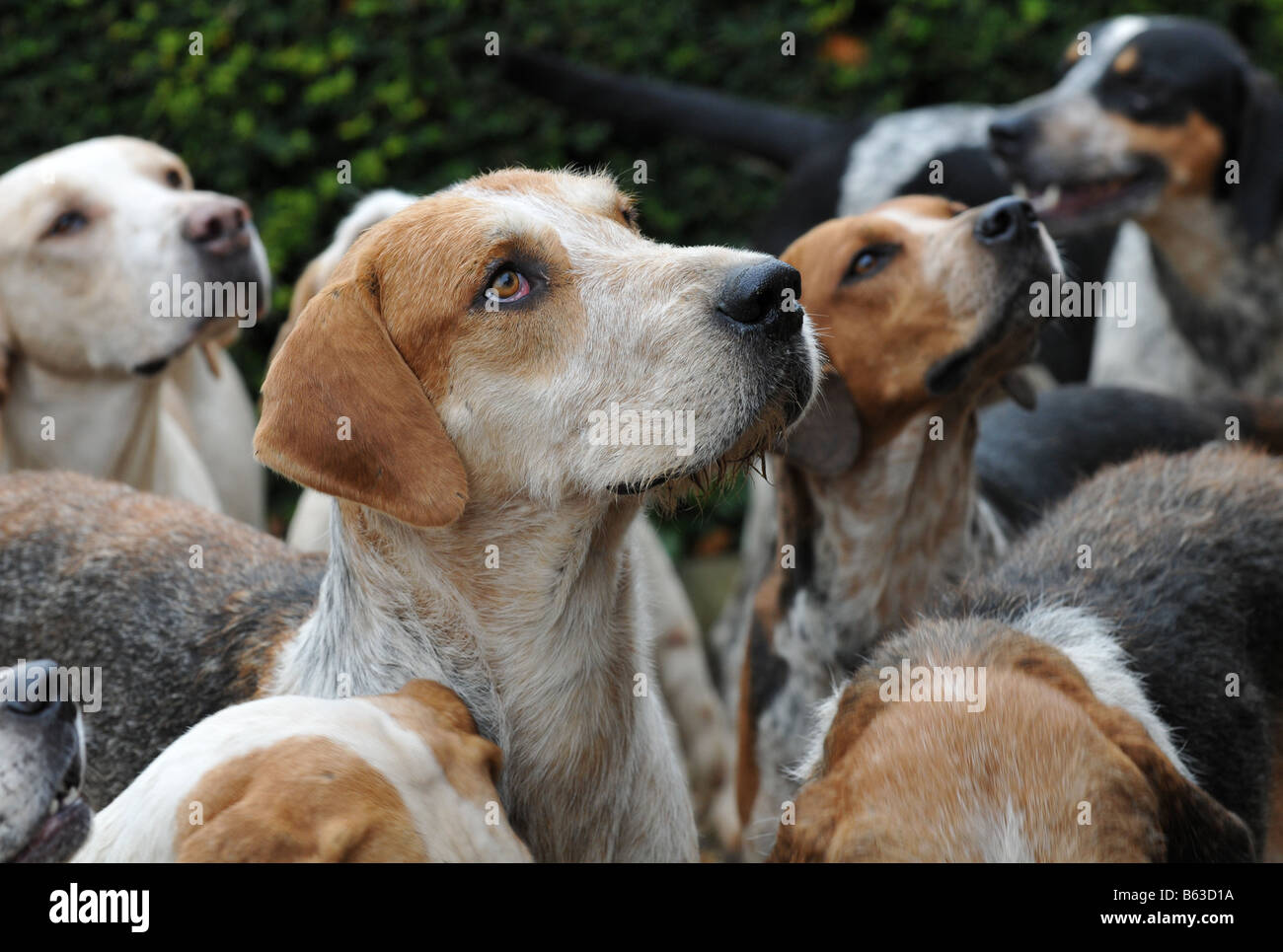 The Croome and West Warwickshire  Foxhounds at a  hunt meeting at Ragley Hall in Warwickshire Stock Photo