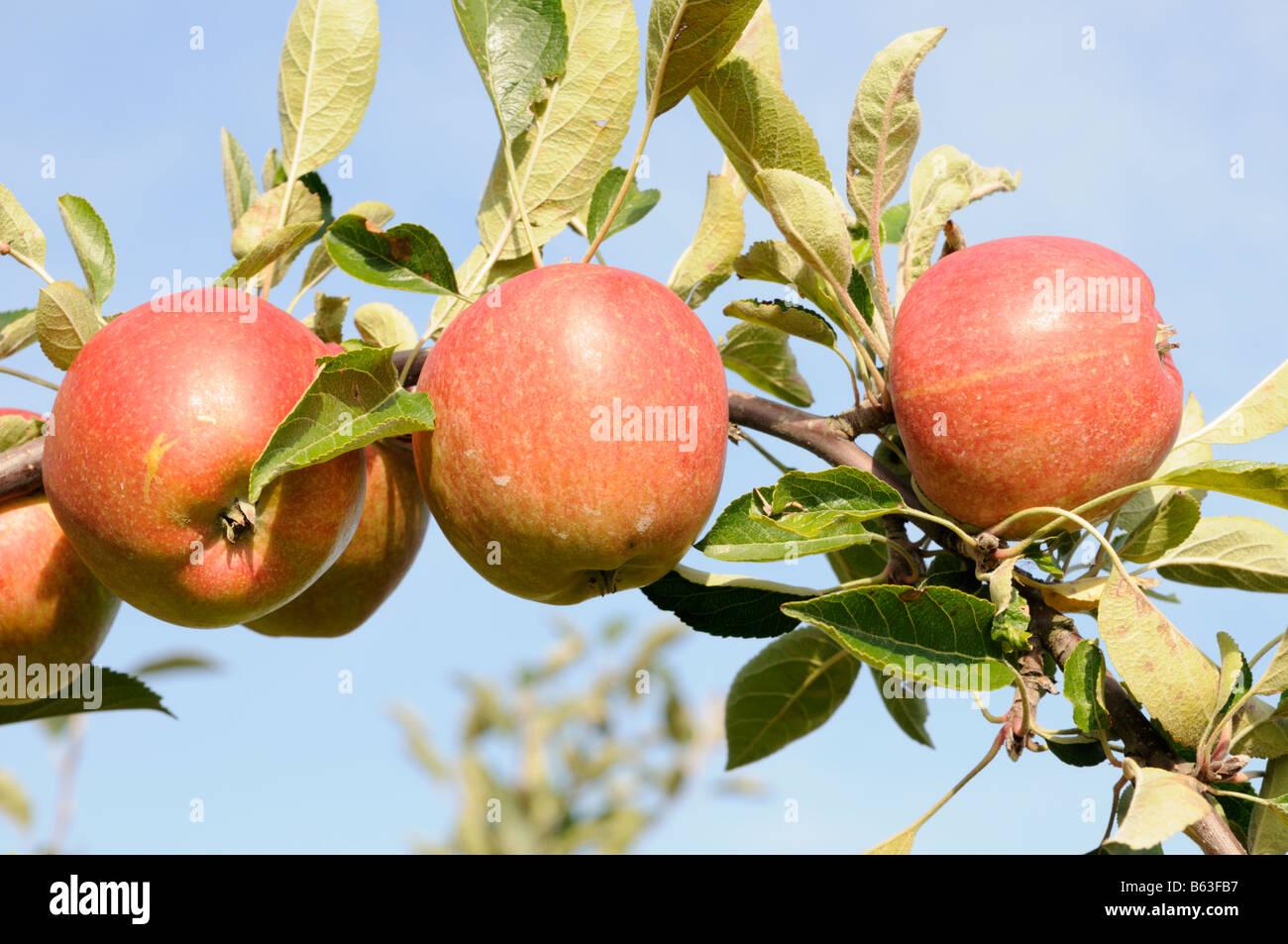 Reife Äpfel am Zweig Altes Land Niedersachsen Deutschland Ripe apples on a branch Altes Land Lower Saxony Germany - Stock Image