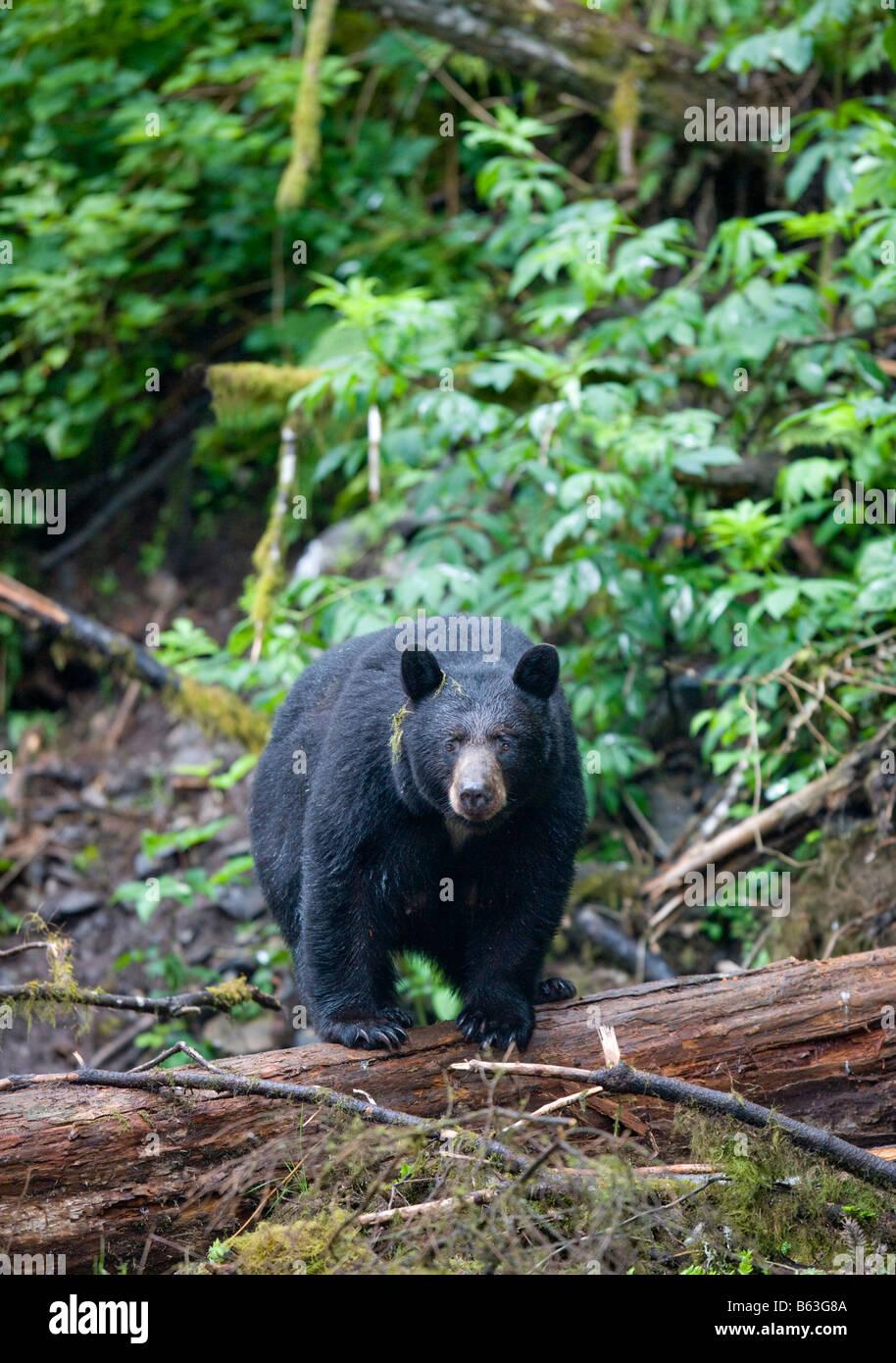 USA Alaska Kake Black Bear Ursus americanus standing balanced on log above Gunnuk Creek in early summer rain - Stock Image