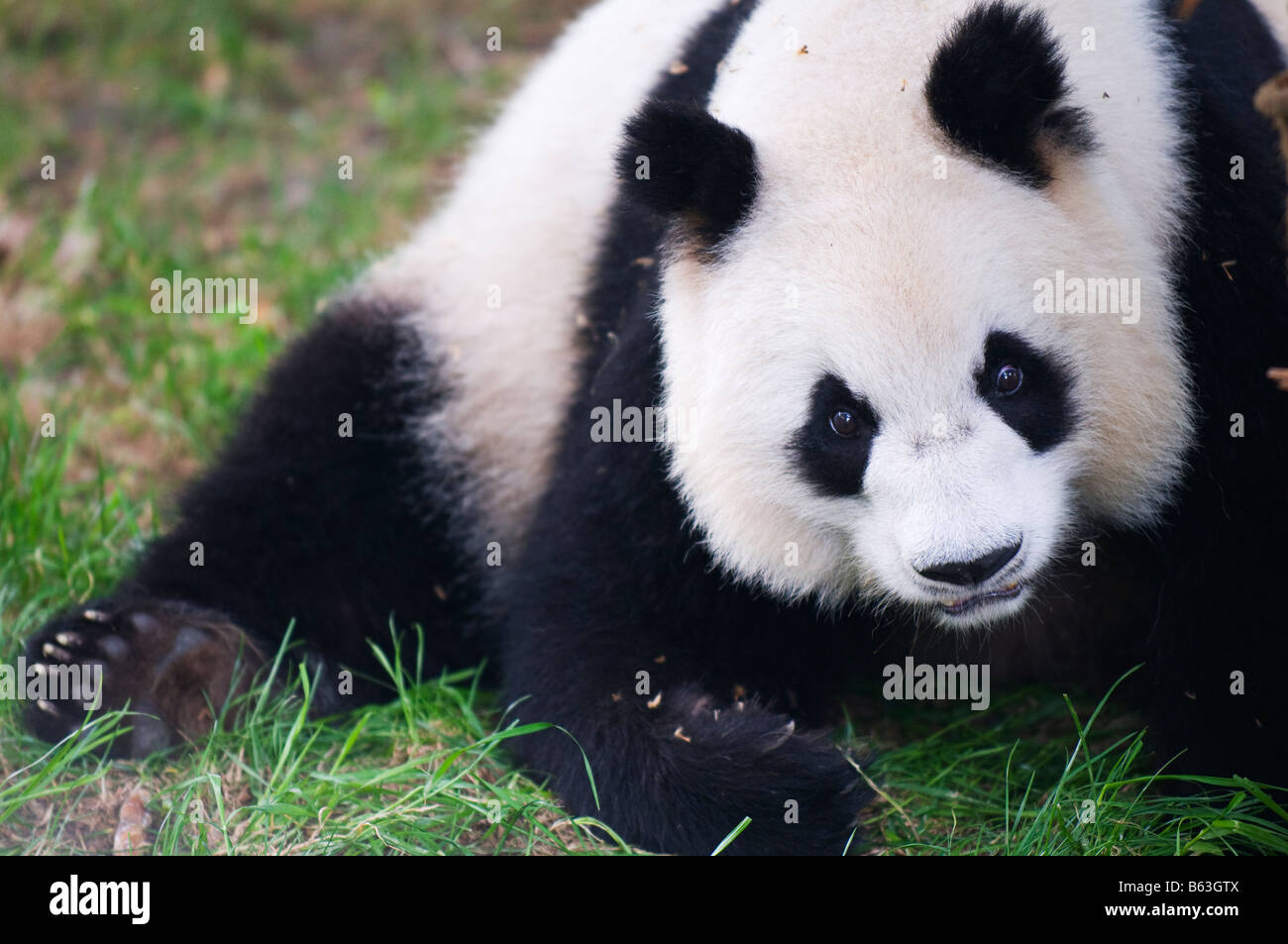 China Sichuan Panda Reserve Unesco World Heritage site - Stock Image