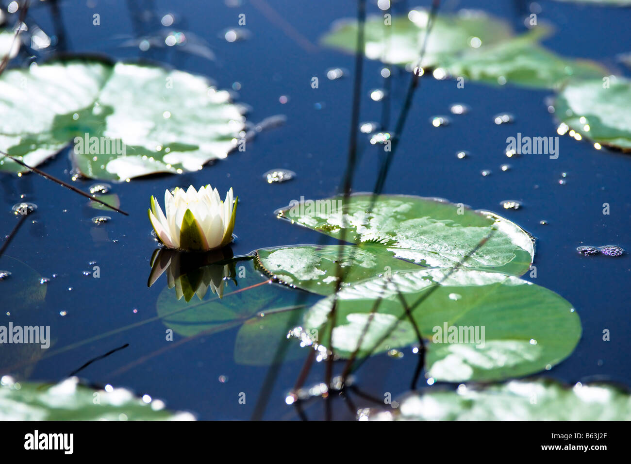 Lilly Pad Stock Photos & Lilly Pad Stock Images - Alamy