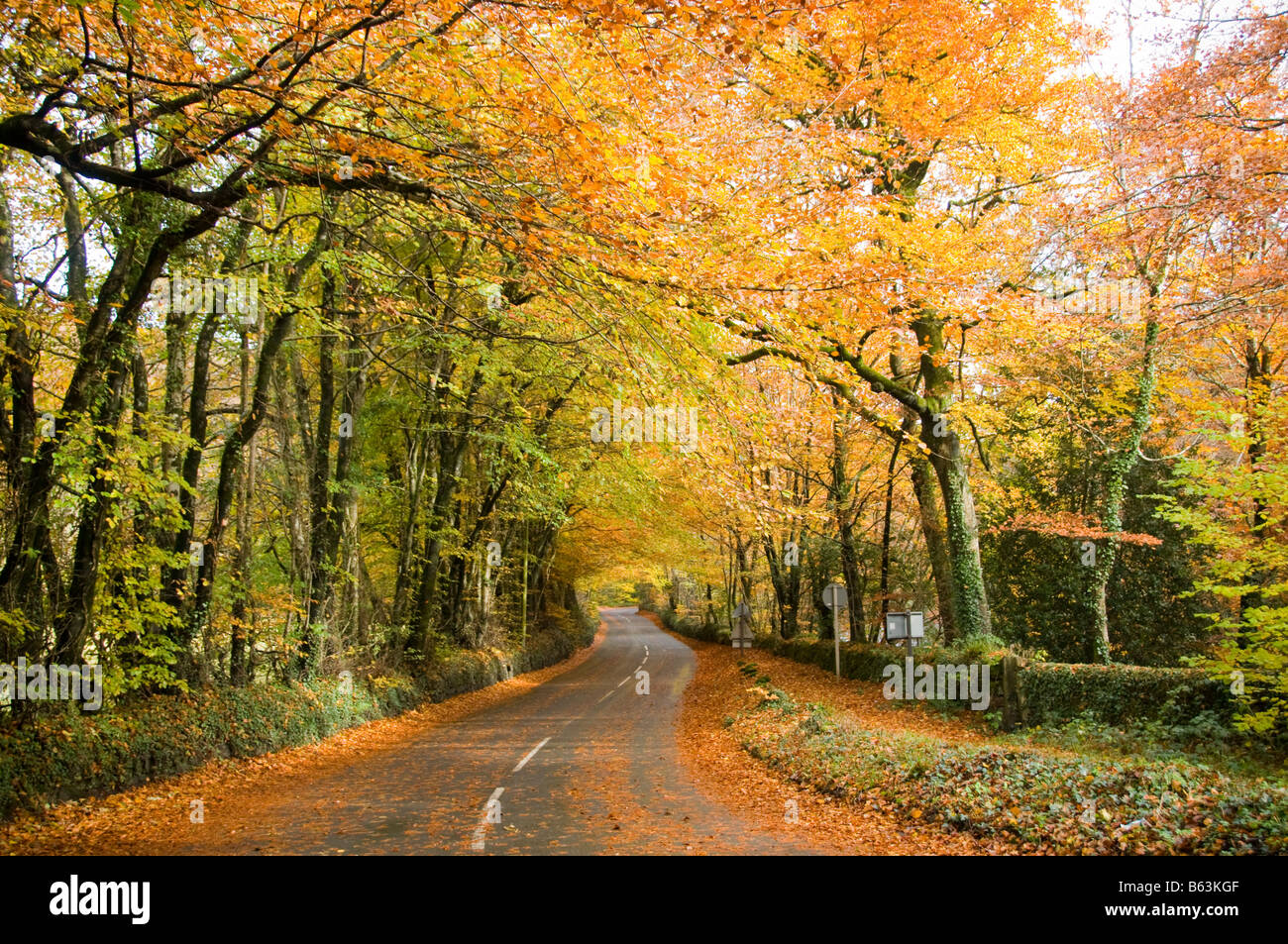 Autumn trees and leaves on a road to Dartmoor in Devon - Stock Image