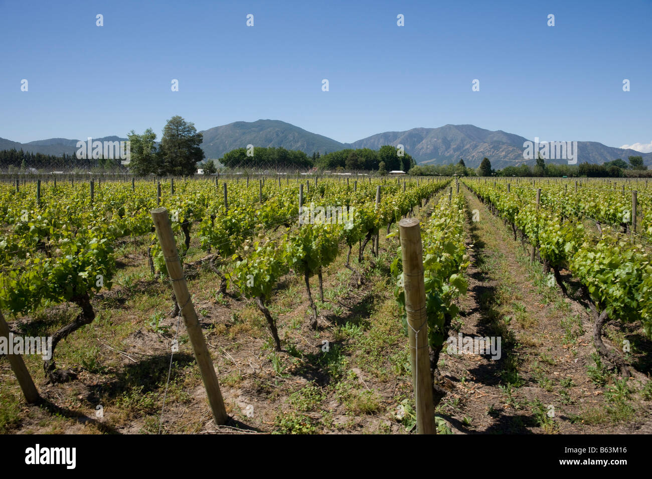 Grapevines growing in the Viu Manent Vineyard, Colchagua Valley, Chile - Stock Image
