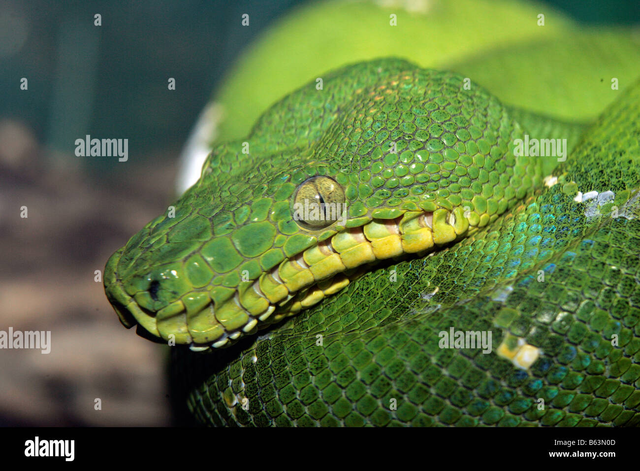 Constrictor Stock Photos & Constrictor Stock Images - Alamy