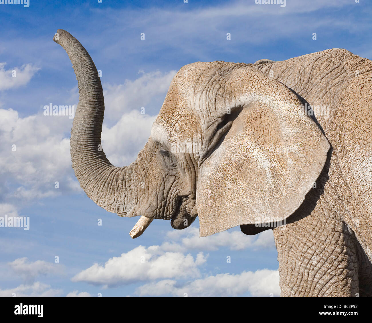 Profile of an old bull elephant raising his trunk against a blue sky with white clouds - Stock Image