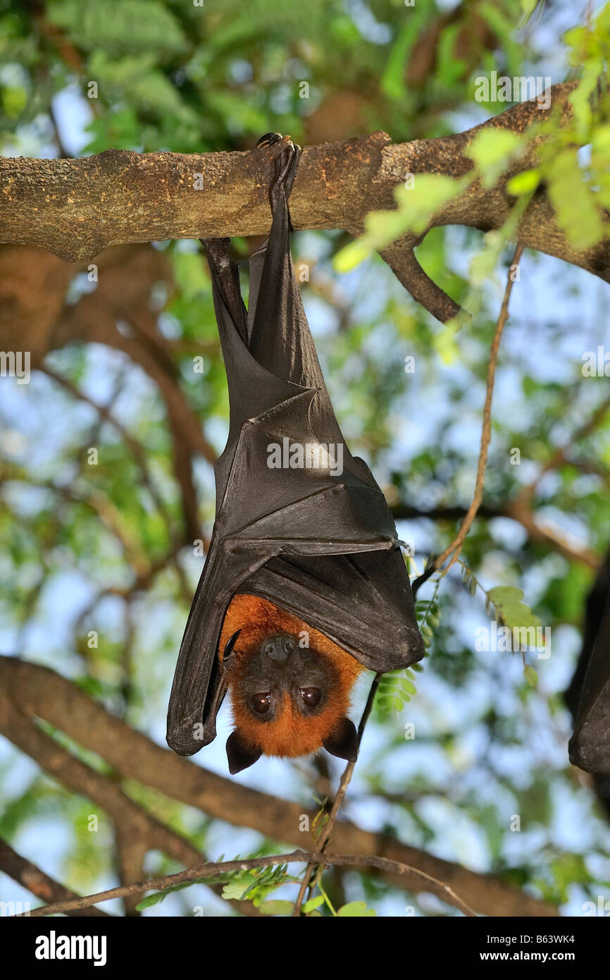 Fruit Bats or Flying Foxes hanging in the trees Stock Photo