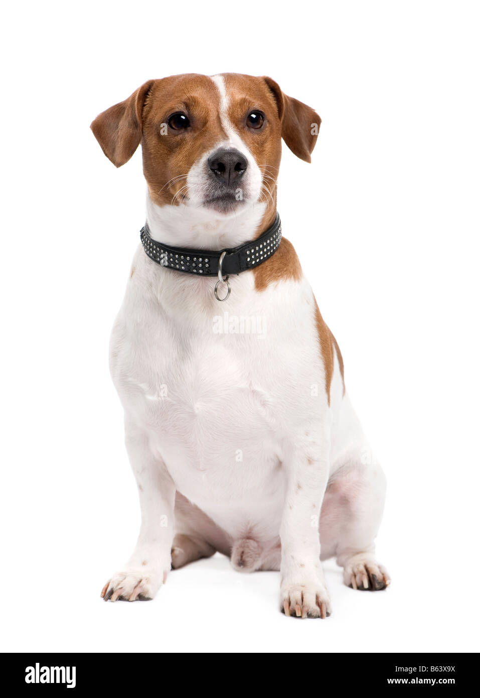 Jack russell 3 years in front of a white background - Stock Image