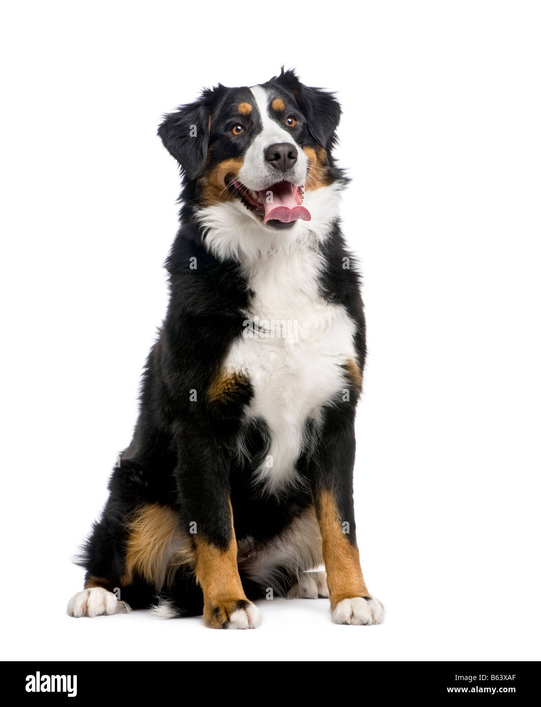 Bernese mountain dog 15 months in front of a white background - Stock Image