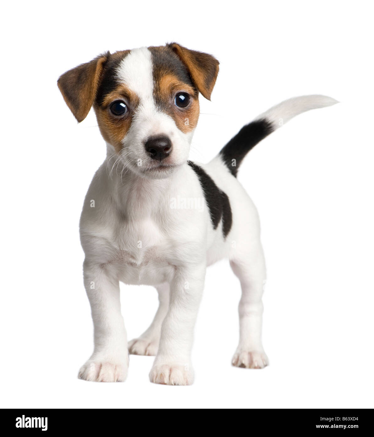 puppy Jack russell 8 weeks in front of a white background - Stock Image