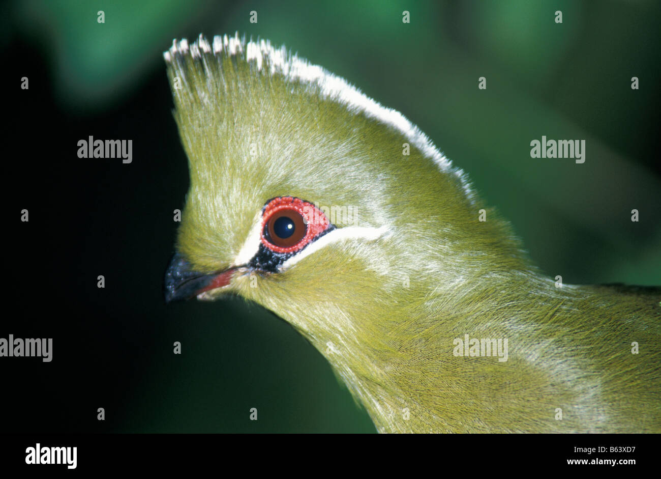 Touraco de Livingstone Tauraco livingstonii Musophagidae En milieu naturel Le Touraco de Livingstone est un oiseau Stock Photo