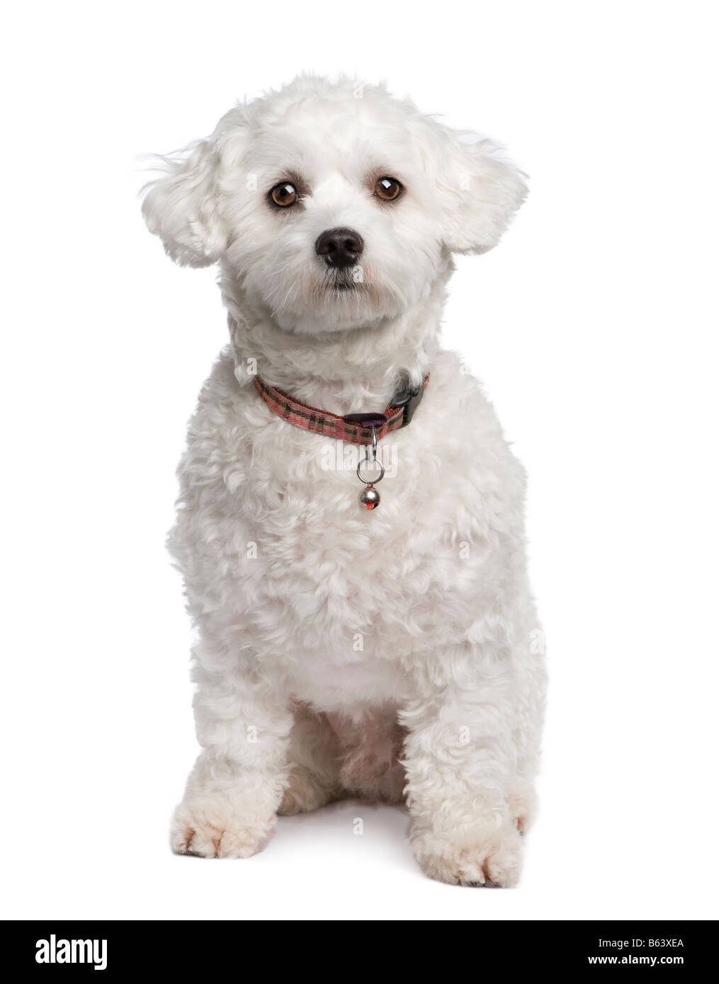 maltese dog 18 months in front of a white background - Stock Image