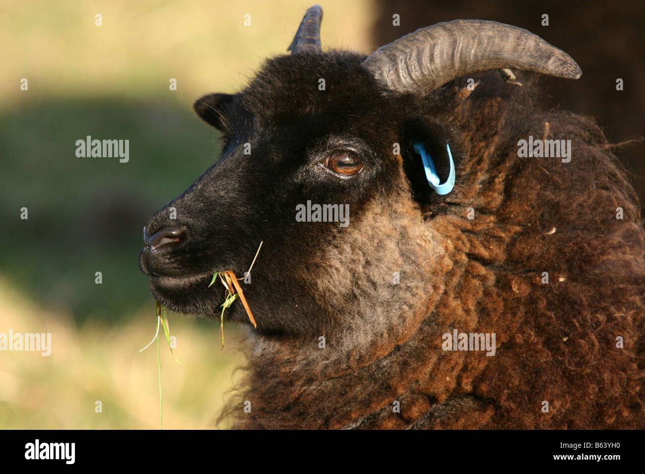 HEBRIDEAN sheep grazing nottinghamshire wildlife trust reserve - Stock Image