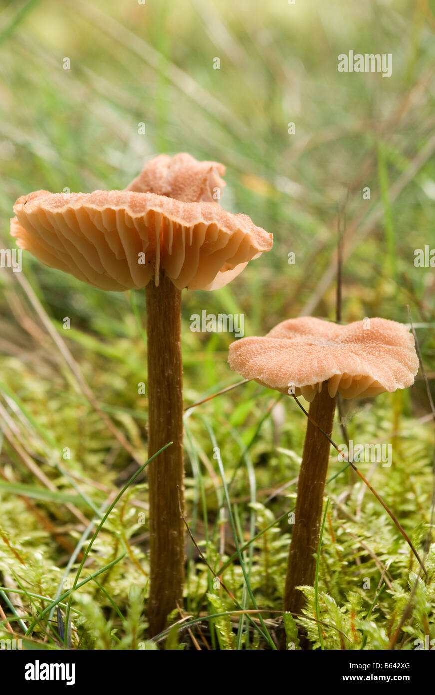 fungus sp. - Stock Image