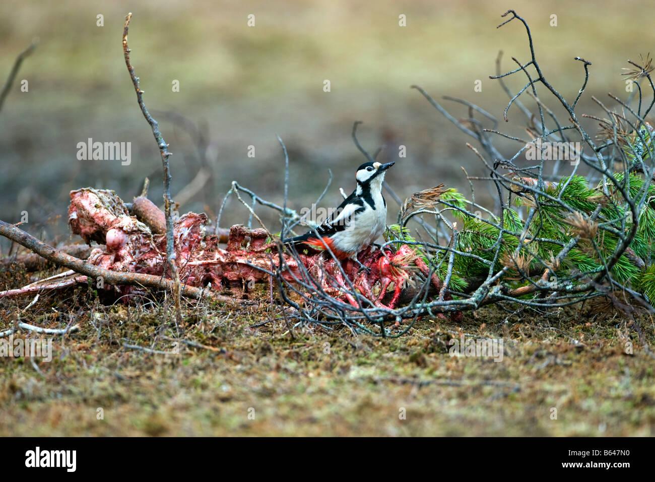 Finland, Ruhtinansalmi, near Suomussalmi, Wildlife Centre Martinselkonen Erakeskus. Great Spotted Woodpecker, Dendrocopus Stock Photo