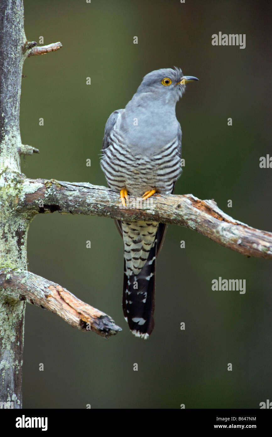 Finland, Kuikka Lake, near Kuhmo. Common Cuckoo (Cuculus canorus). - Stock Image