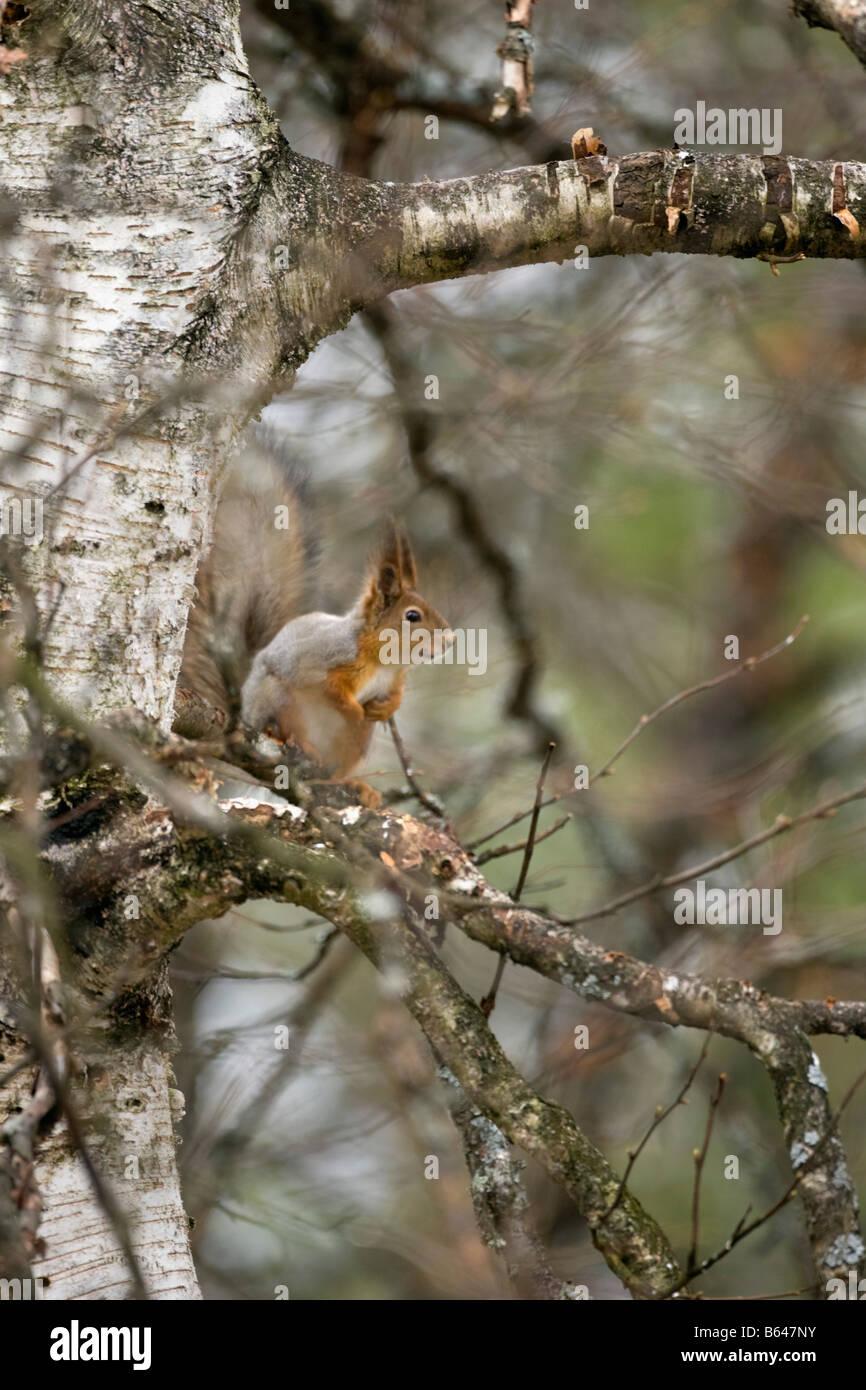 Finland, Ruhtinansalmi, near Suomussalmi, Wildlife Centre Martinselkonen Erakeskus. Eurasian red squirrel. Sciurus - Stock Image