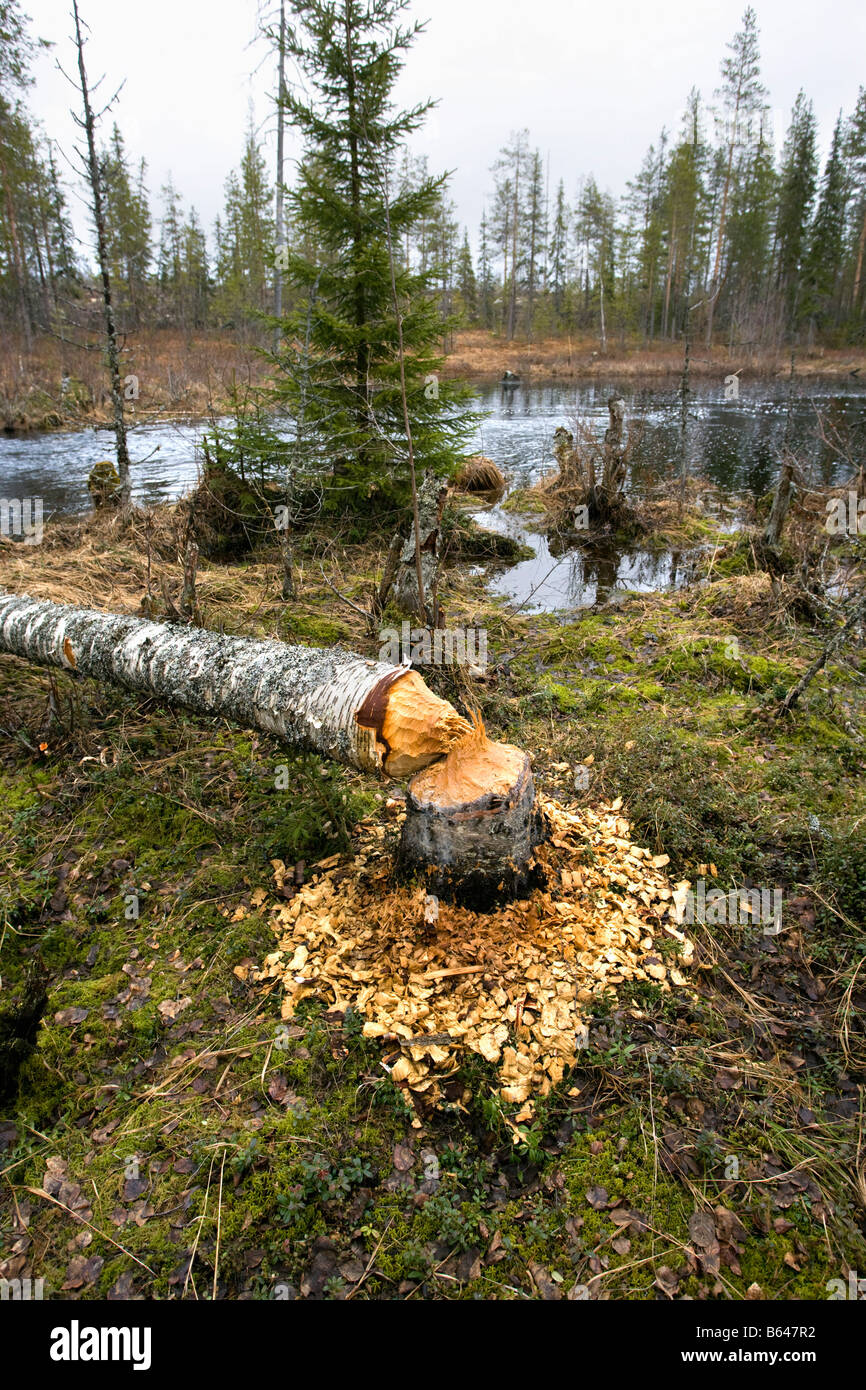 Finland, Kuikka Lake, near Kuhmo. Ultima taiga. Centre for tourism and wildlife, trunk eaten by European beaver - Stock Image