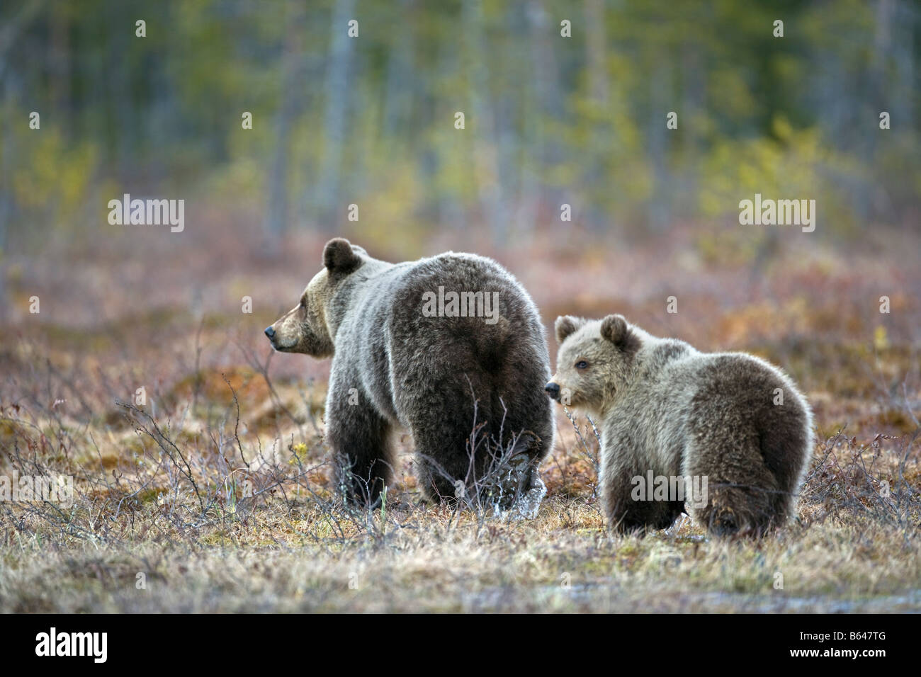 Finland, Ruhtinansalmi, near Suomussalmi, Wildlife Centre Martinselkonen Erakeskus. Brown bear. Ursus arctos. Mother - Stock Image