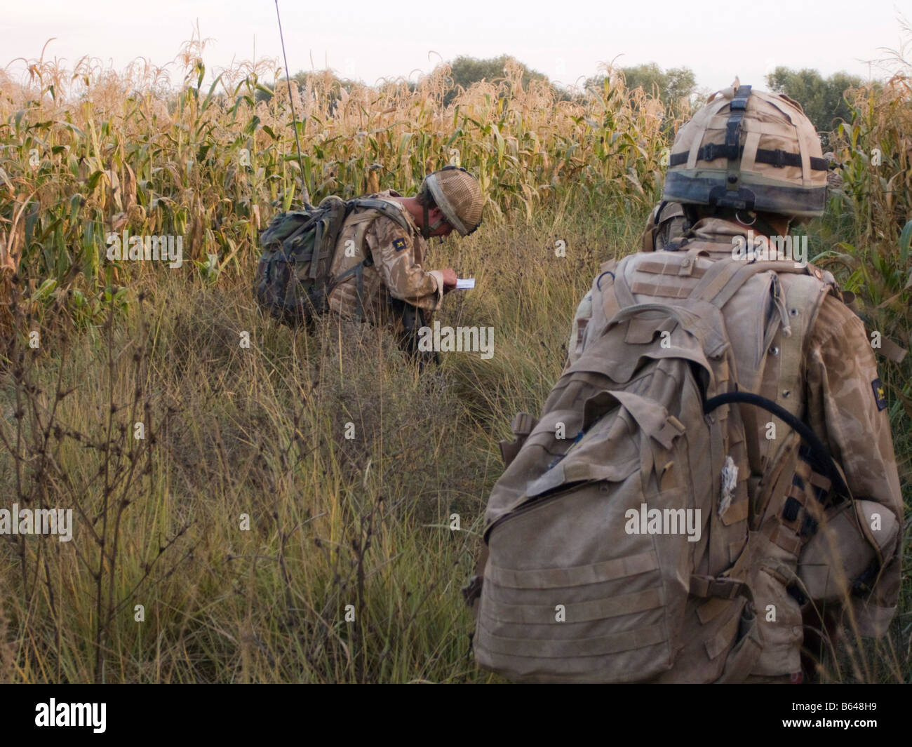 British Army soldier wearing body armour and checking map on patrol through maize crop in Helmand Province Afghaistan - Stock Image