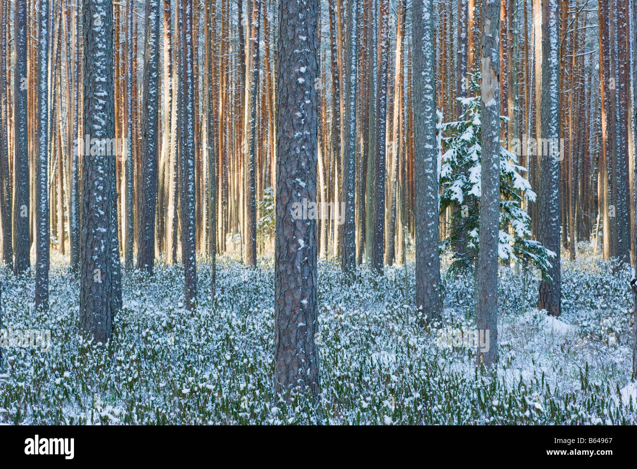 Scots pine woodland - Stock Image