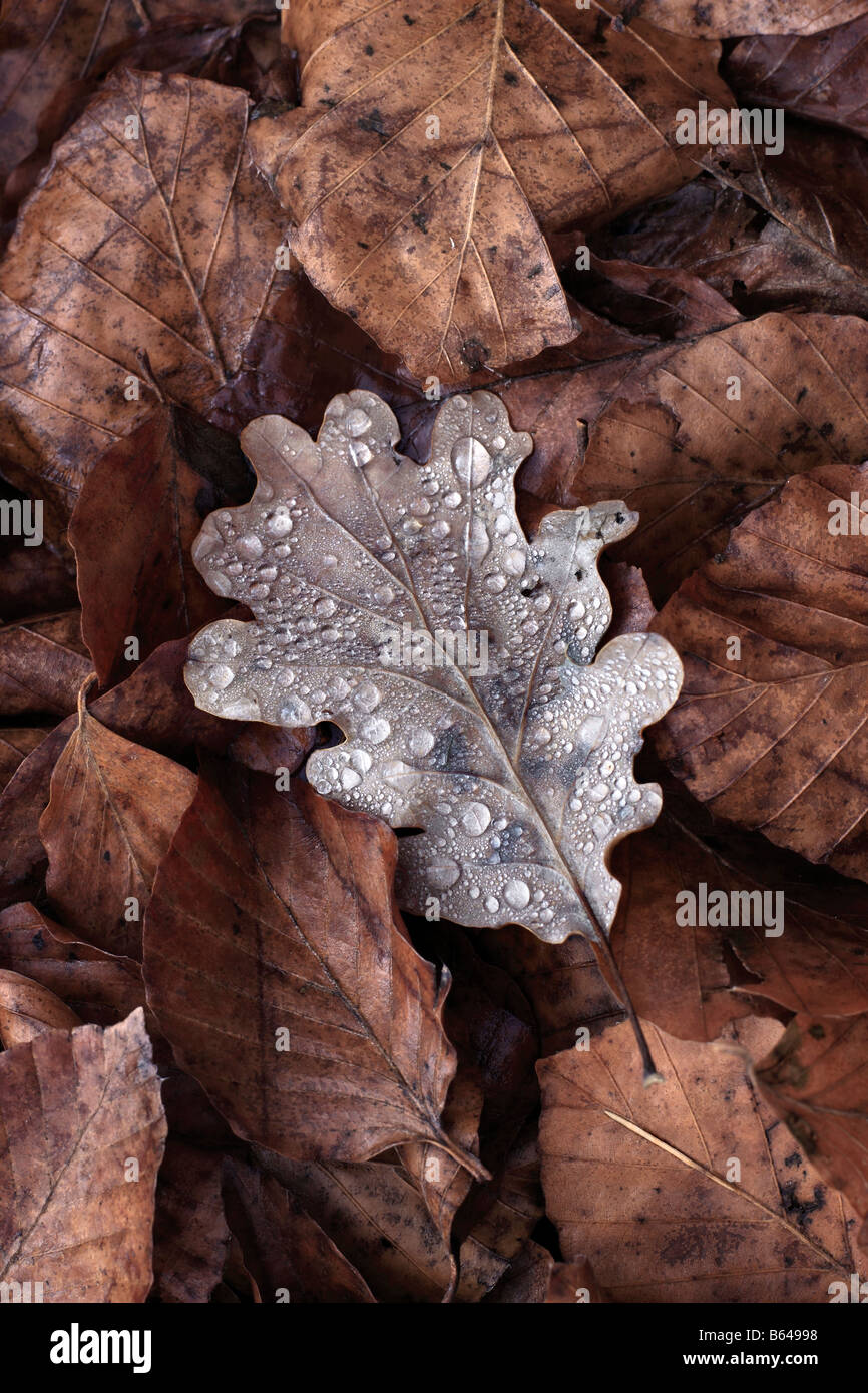 An intimate view of the forest floor in the early morning light. Dew drops on an oak leaf, and chestnut leaves around - Stock Image