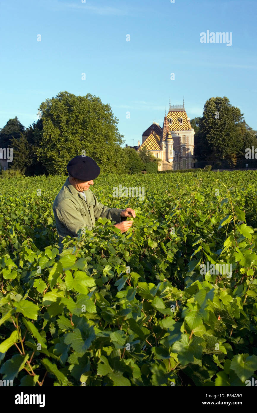 France, near Beaune, Burgundy, Village: Afoxe-Corton. Castle: Andre Corton. Vineyard. - Stock Image