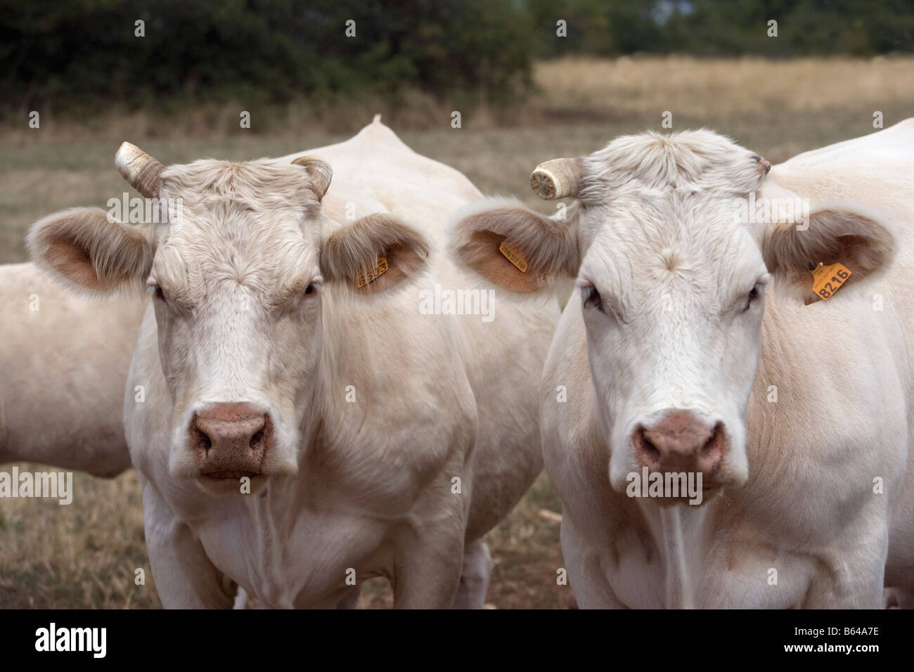 France, near Beaune, Burgundy, Meat cows. - Stock Image