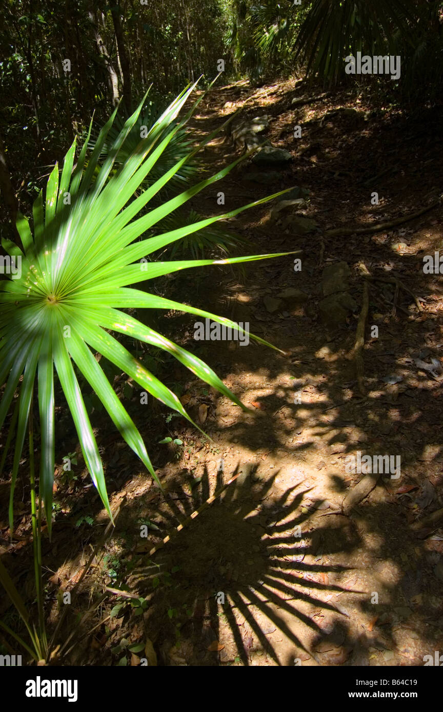 Fan Palm fronds on the Reef Bay Trail St. John USVI - Stock Image