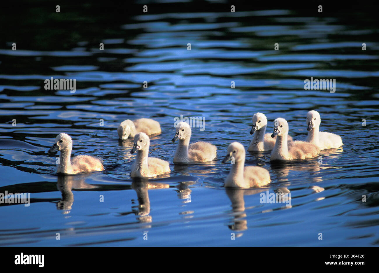 Holland, The Netherlands, Graveland. Young mute swans  (Cygnus olor). - Stock Image