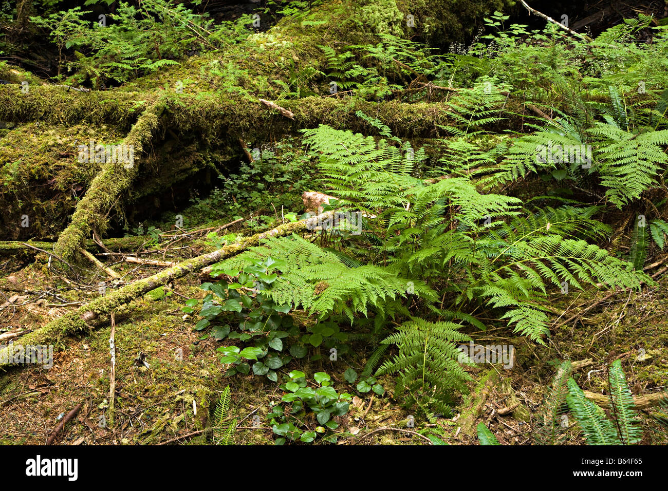Ferns Polystichum Munitum And Plants Growing On Forest Floor Stock