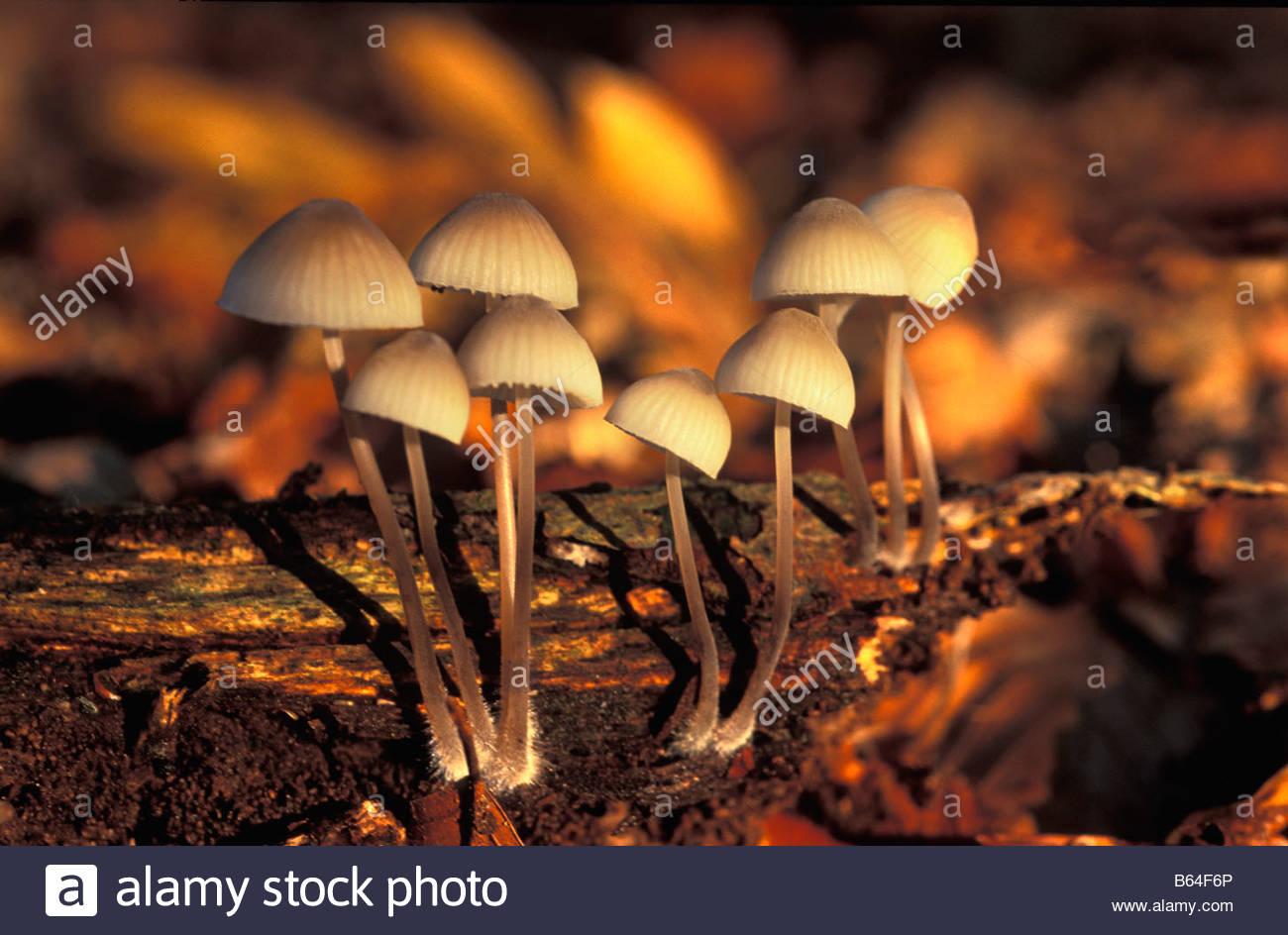 Holland, The Netherlands, Graveland. Fungus ( Leptiota sistratia ) . - Stock Image