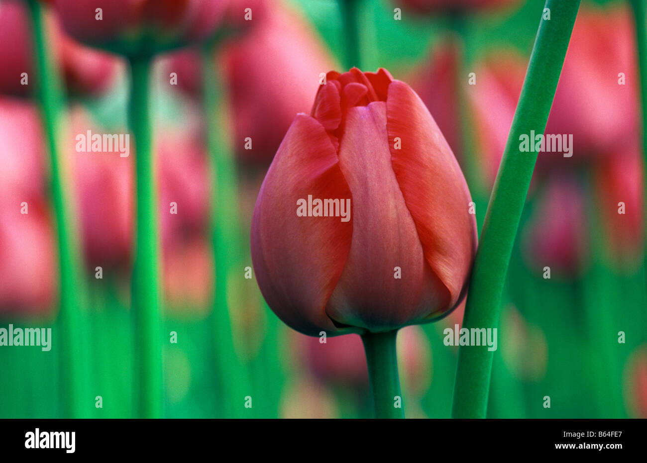 Holland, The Netherlands, Lisse. Flower gardens called: De Keukenhof. Tulips. - Stock Image