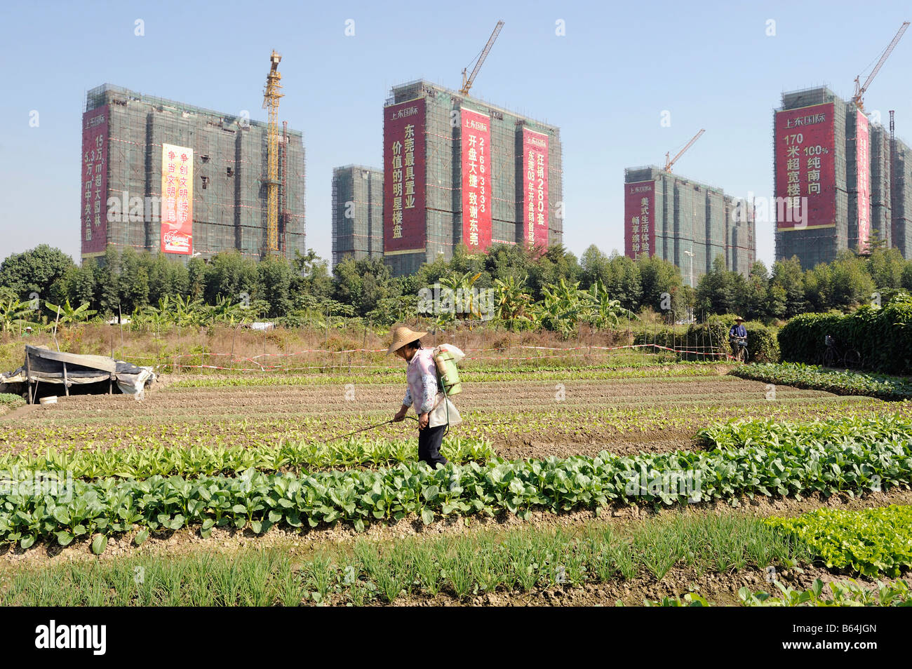 A farmer working in vegetables field in front of newly constructed apartment towers, Dongguang,Guangdong, China. - Stock Image