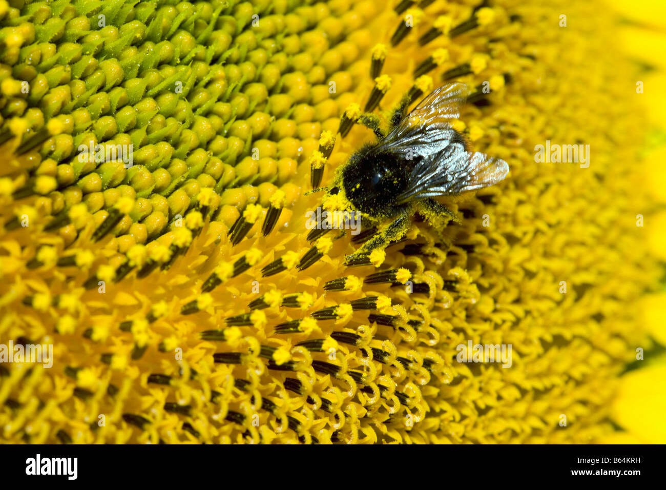 France, near Beaune, Burgundy, Detail of sunflower. Humblebee. - Stock Image